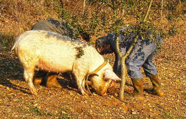 truffelvarken