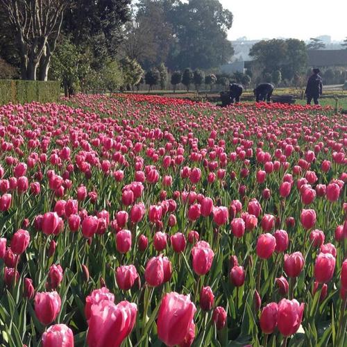 Tulips in Porto