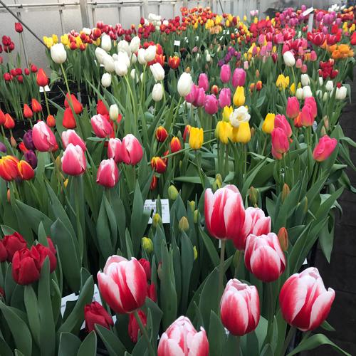Tulip test greenhouse VWS