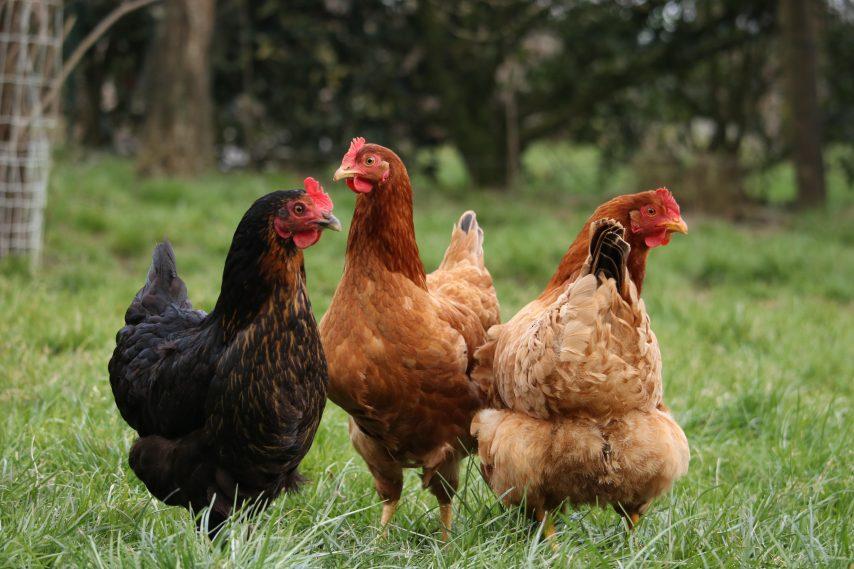 3 poules dans l'herbe