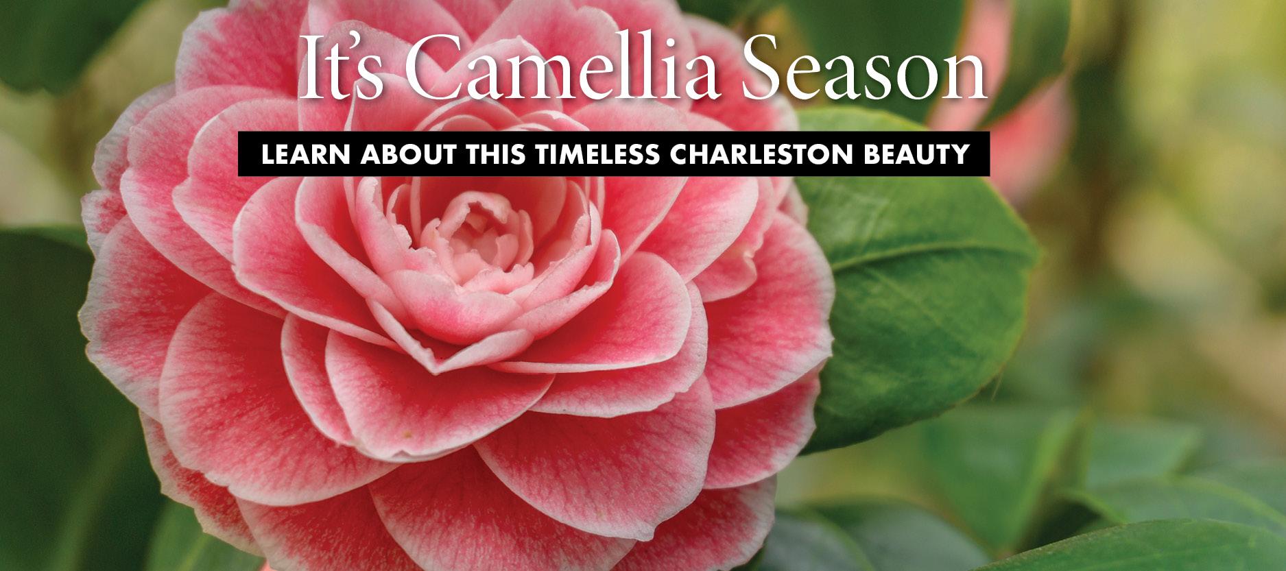 Camellia So Charleston