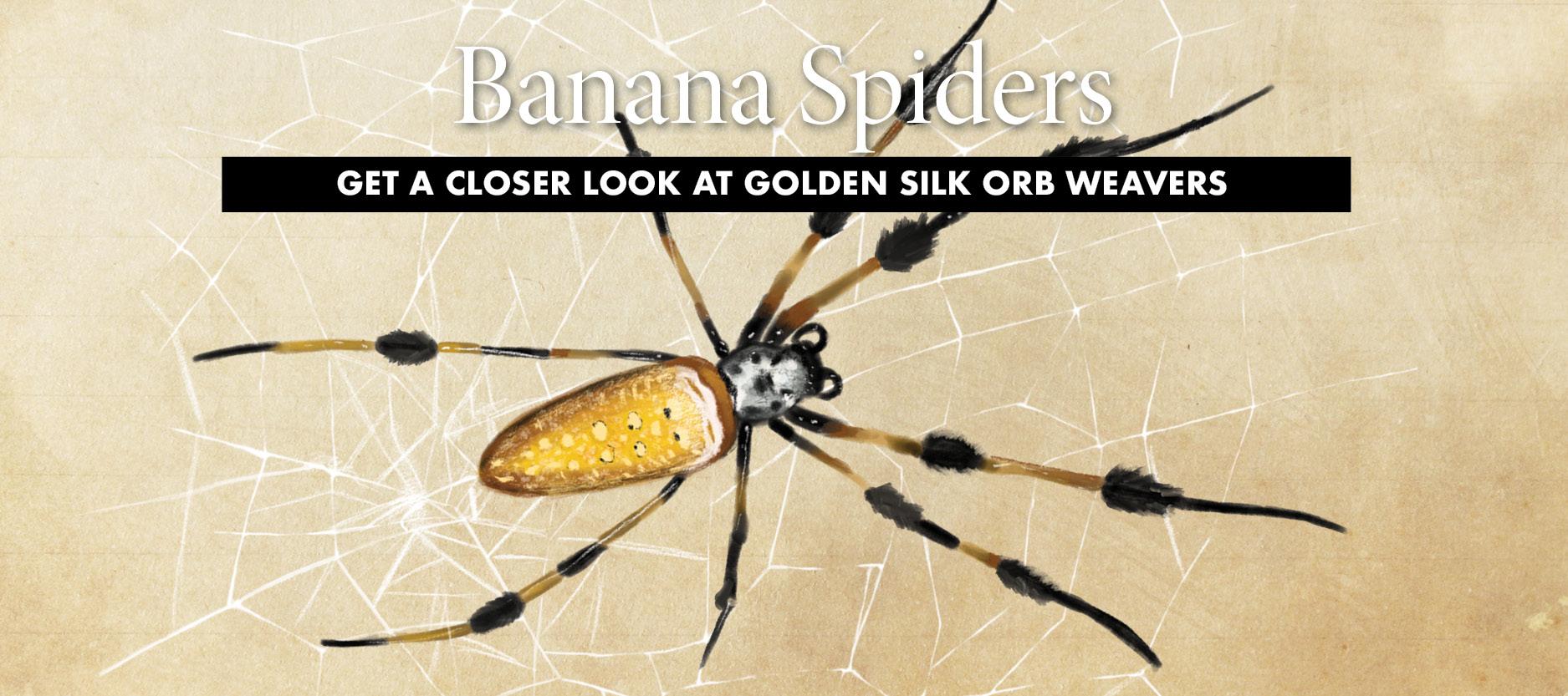 So Charleston Banana Spider