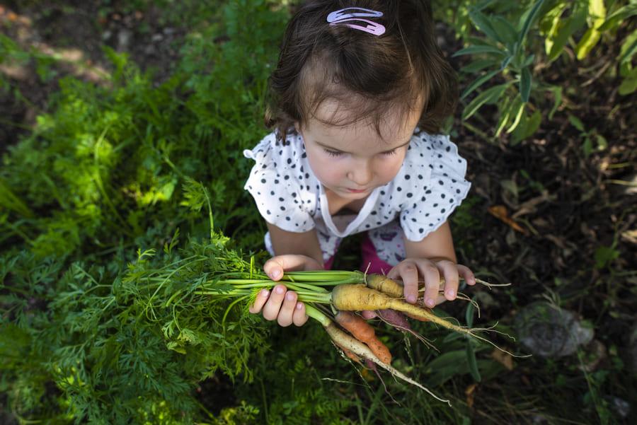 Bambina raccoglie carote biologiche