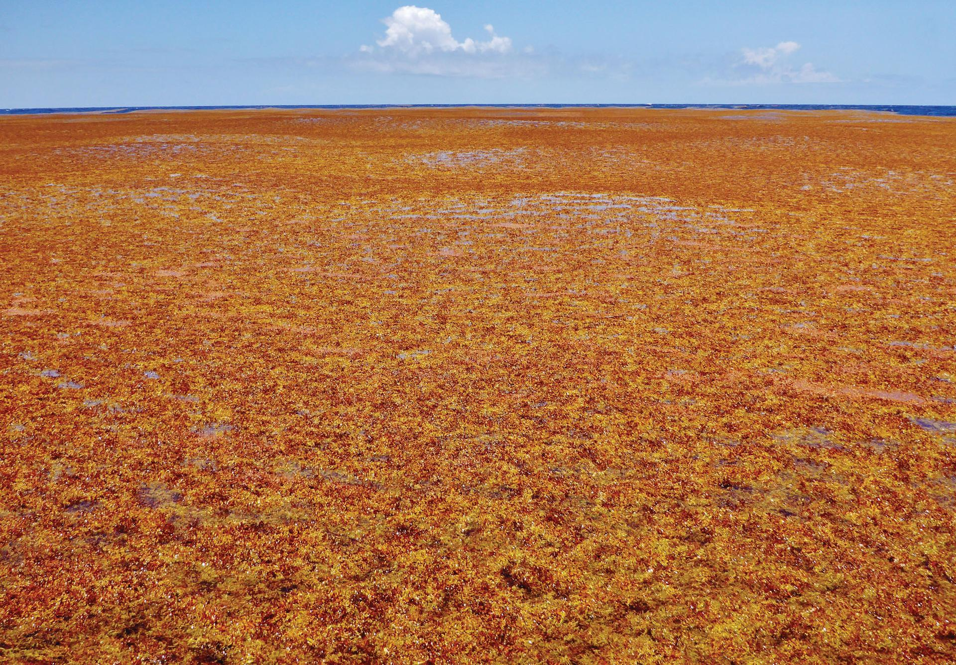 Atlantic Sargassum