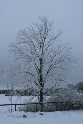 Snowy tree outside Uppsala