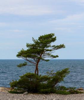 Pine tree from Gotland