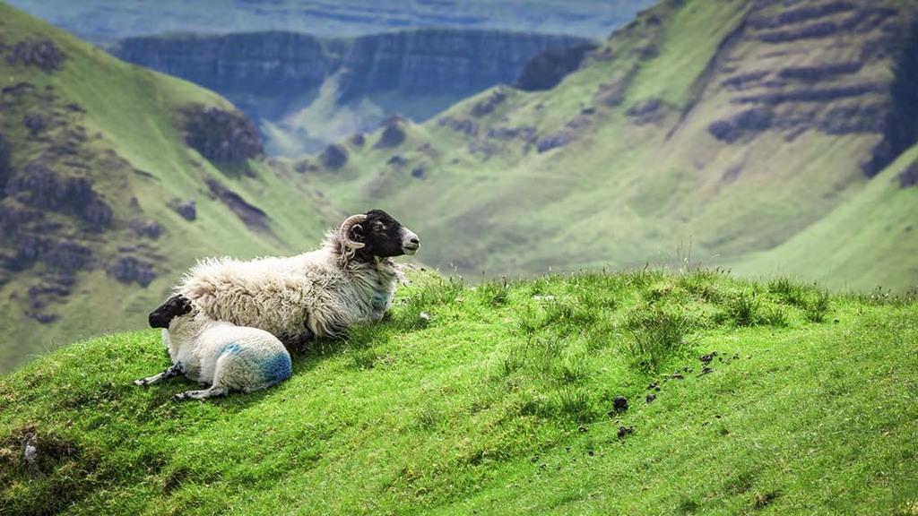 sCOT aGRO FIELD SHEEP