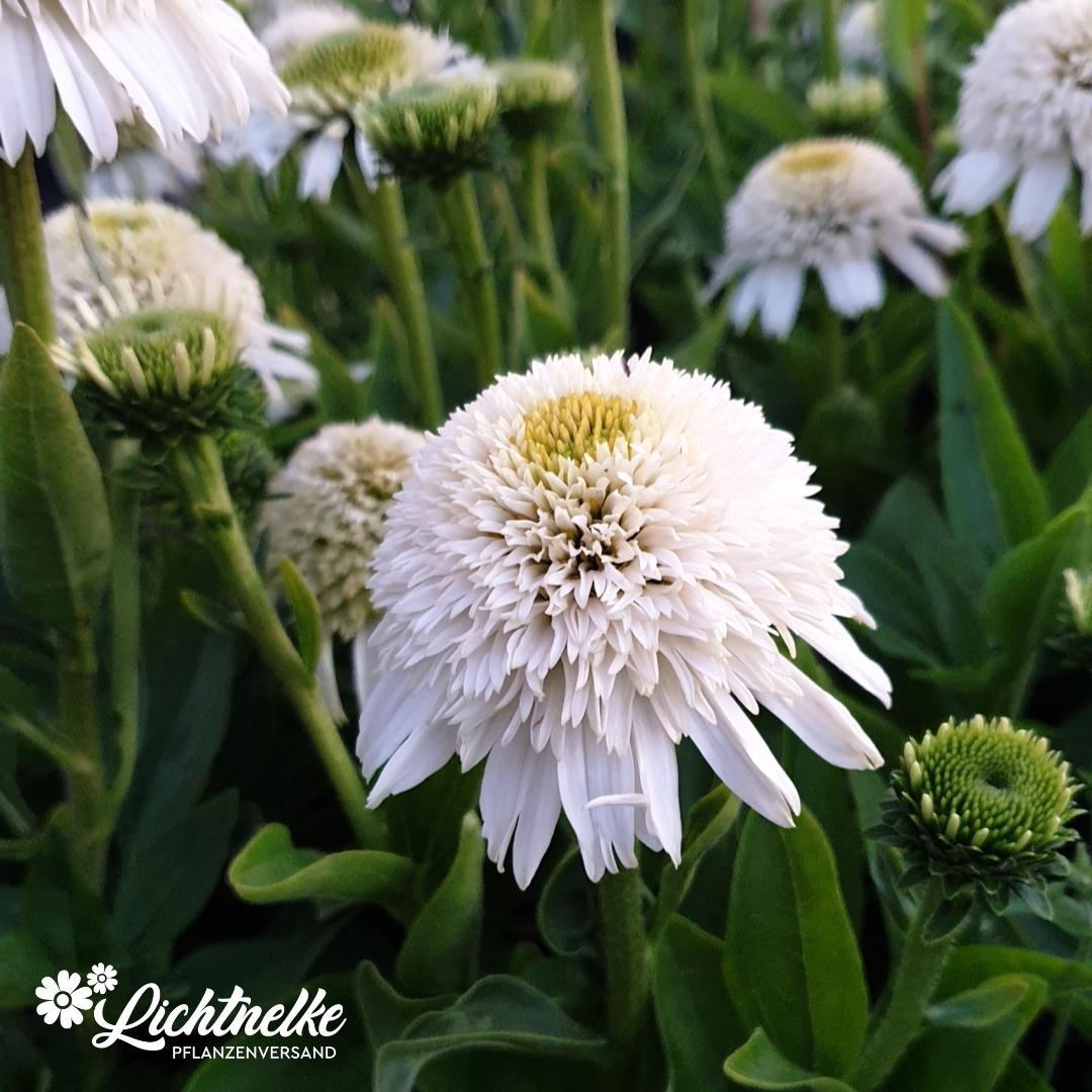 Echinacea Delicious Nougat